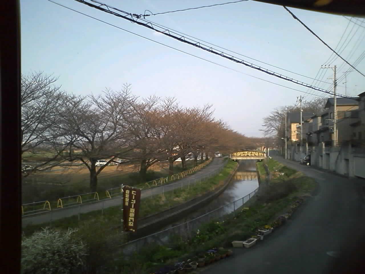 今日の見沼の桜